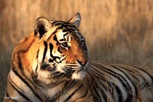 Female tiger portrait by Kbulder