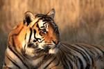 Female tiger portrait