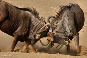 Fighting Blue Wildebeest by Kbulder