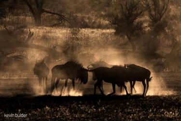 Blue Wildebeest Dust Dance by Kbulder