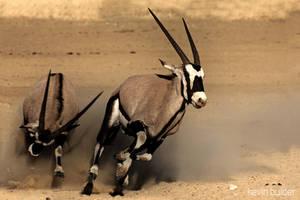 Chasing Oryx by Kbulder
