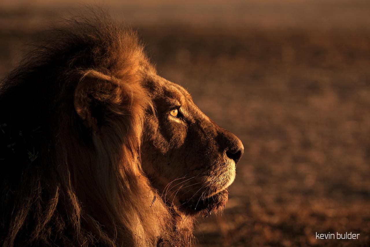 Resting lion by Kbulder