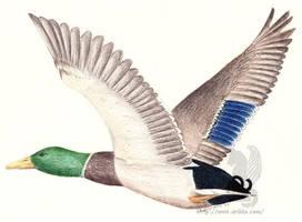 Mallard in Flight by arikla
