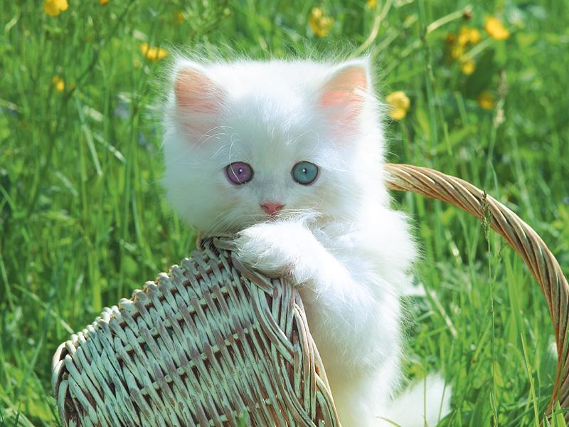 Heterochromia//General Heterochromia_Cat_by_Brukhar