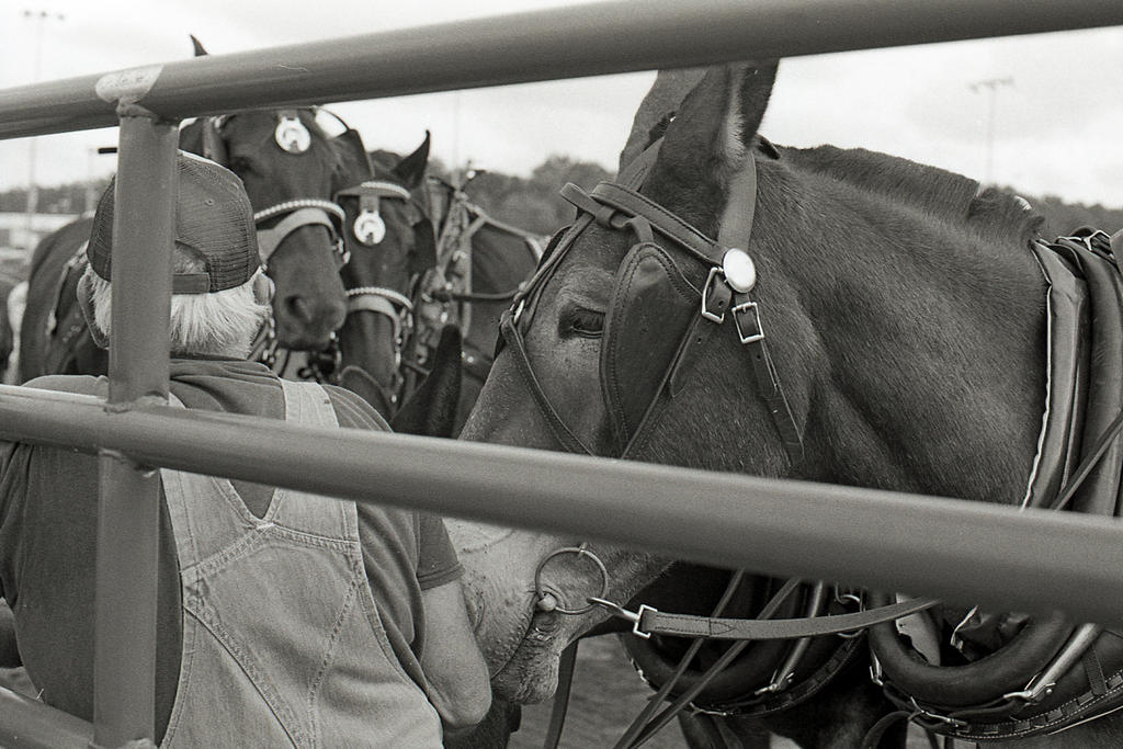 Waiting - Mules at Virginia State Fair by rdungan1918