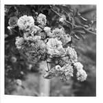 45. Print - Roses