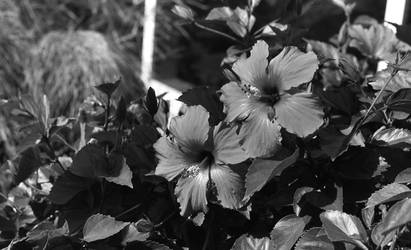 Red Flowers in black and white