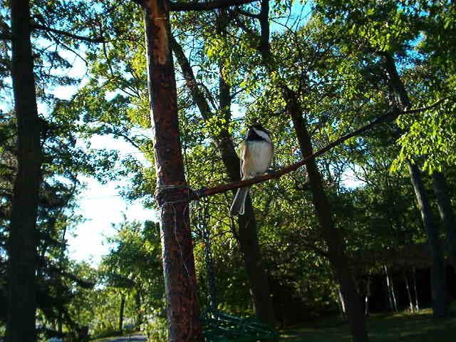 Chickadee in a Tree by Mariye1982