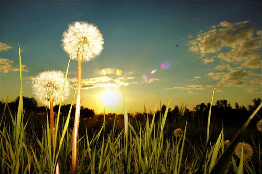 Make wishes on dandelions
