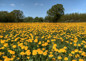Field with dandelions by marschall196