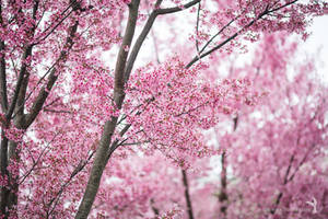 Smell of Desire, photograph of a blooming sakura by NoirArt