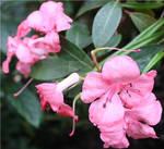 More Pink Flowers by alienjon