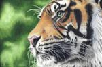 Realistic Colored Pencil Tiger