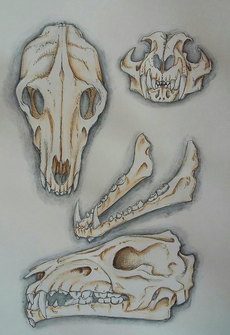 carnivore skull study by JustADeer