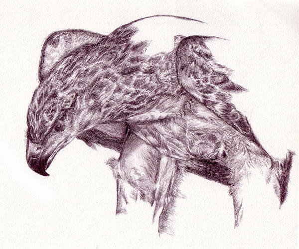 Martial Eagle by Segaia on DeviantArt