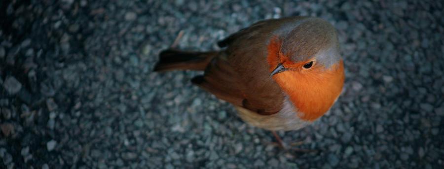 Robin II by piskieheart