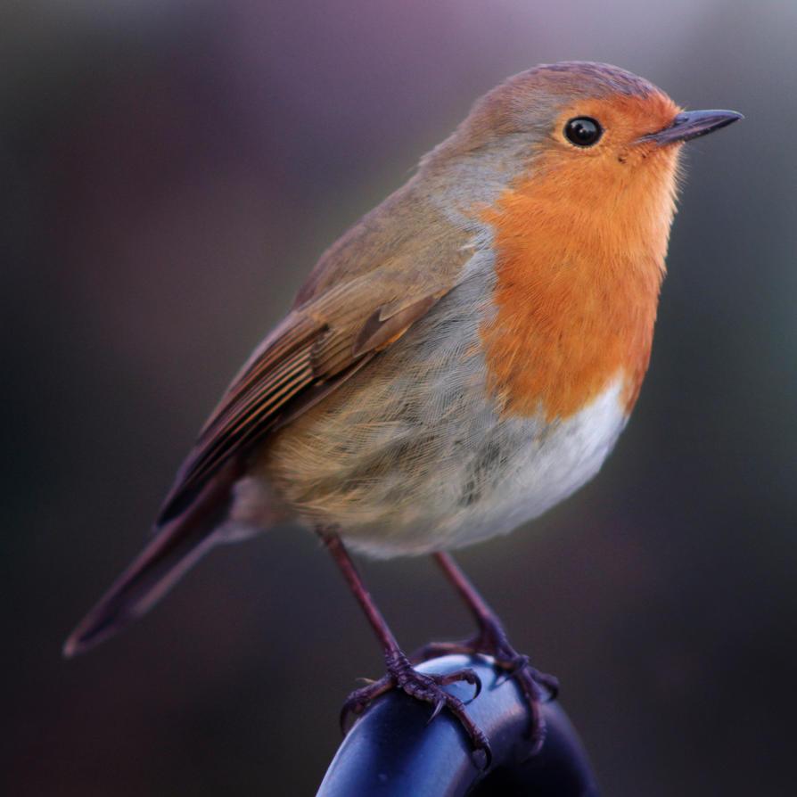 Robin by piskieheart
