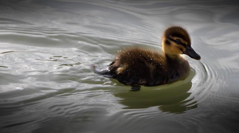Duckling by piskieheart