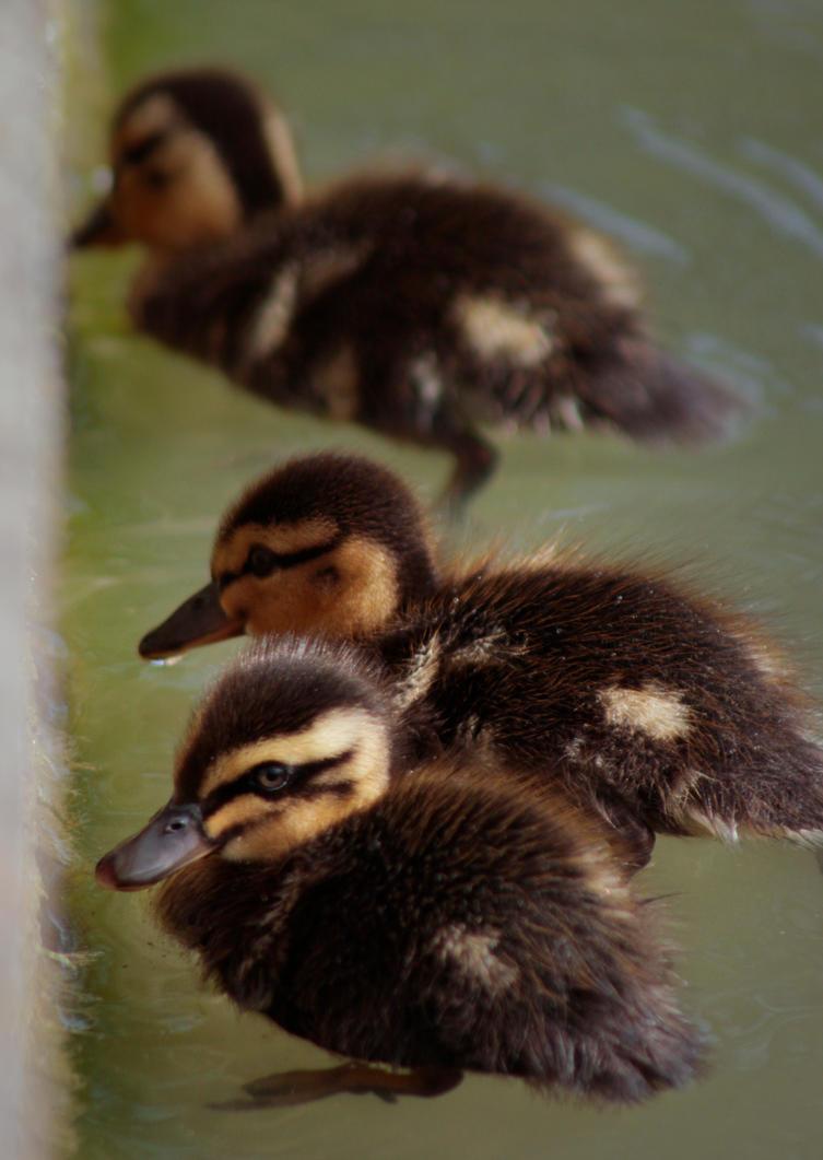 Ducklings by piskieheart