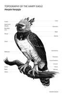 Scientific Study: Harpy Eagle by DeeRex