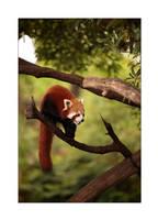 Red Panda by MrNudge