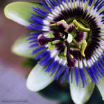 Passionflower by Kheiraa