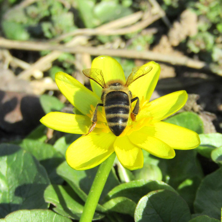 Bee on the flower of lesser celandine by Dasha-Svetlaya