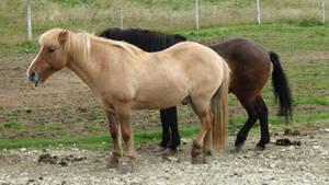 Icelandic Horses #20