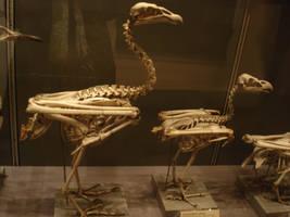 Bird skeleton-3 by Flyg-stock