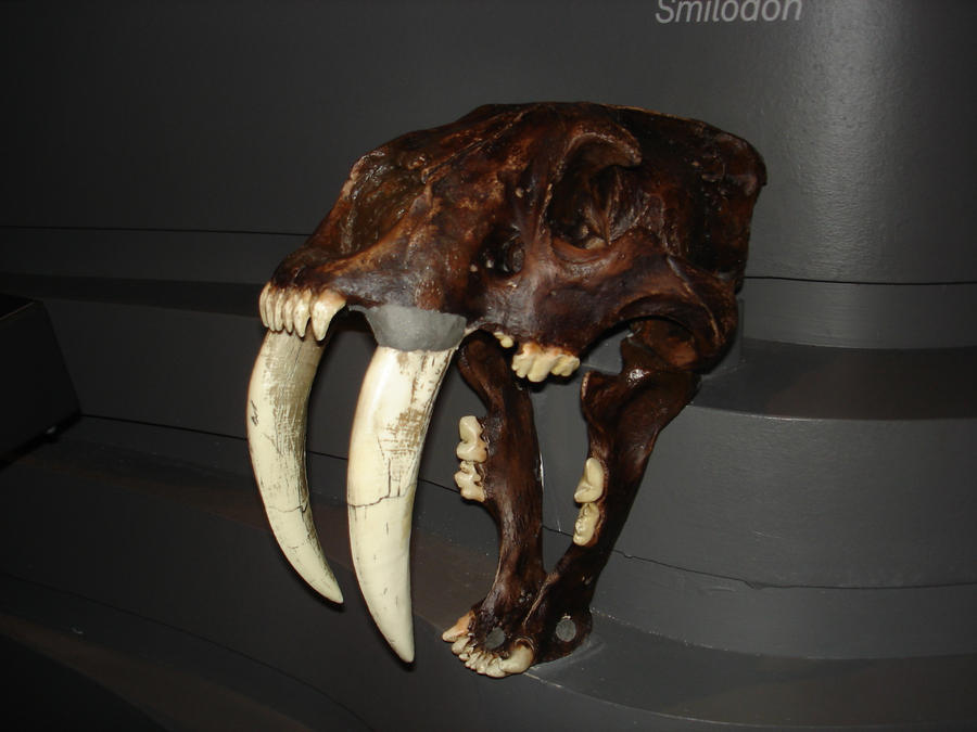 Saber tooth tiger skull-1 by Flyg-stock