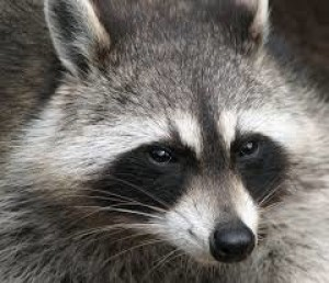 Red22Raccoon's Profile Picture