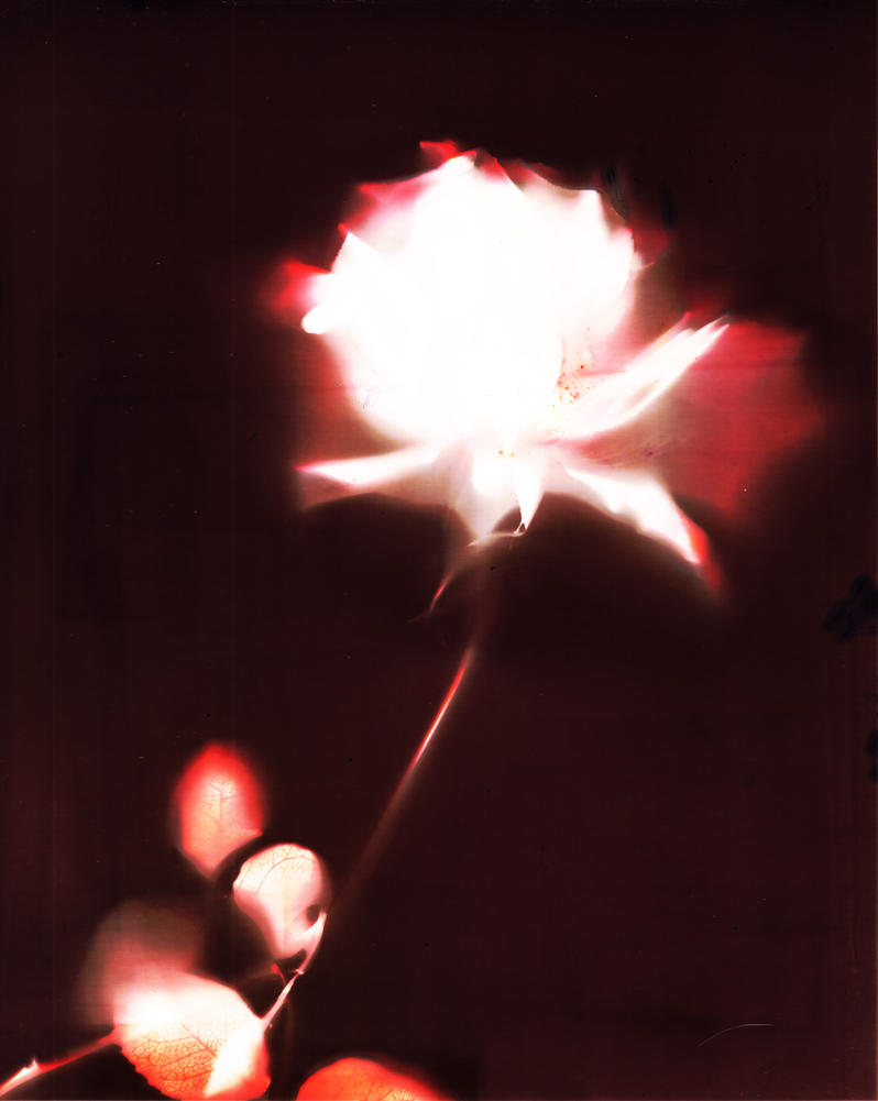 Lumen print 57: the rose by Yourmung
