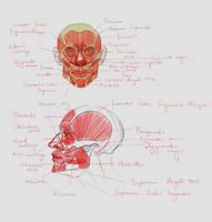 Facial Anatomy (Twitch Stream)