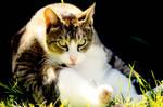 Stock Animal - Tabby Cat