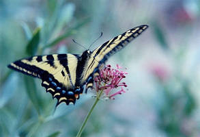 Stock - Butterfly 1 by Carol-Moore