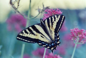 Stock - Butterfly 2 by Carol-Moore
