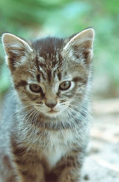 Stock Animal - Kitten 2 by Carol-Moore