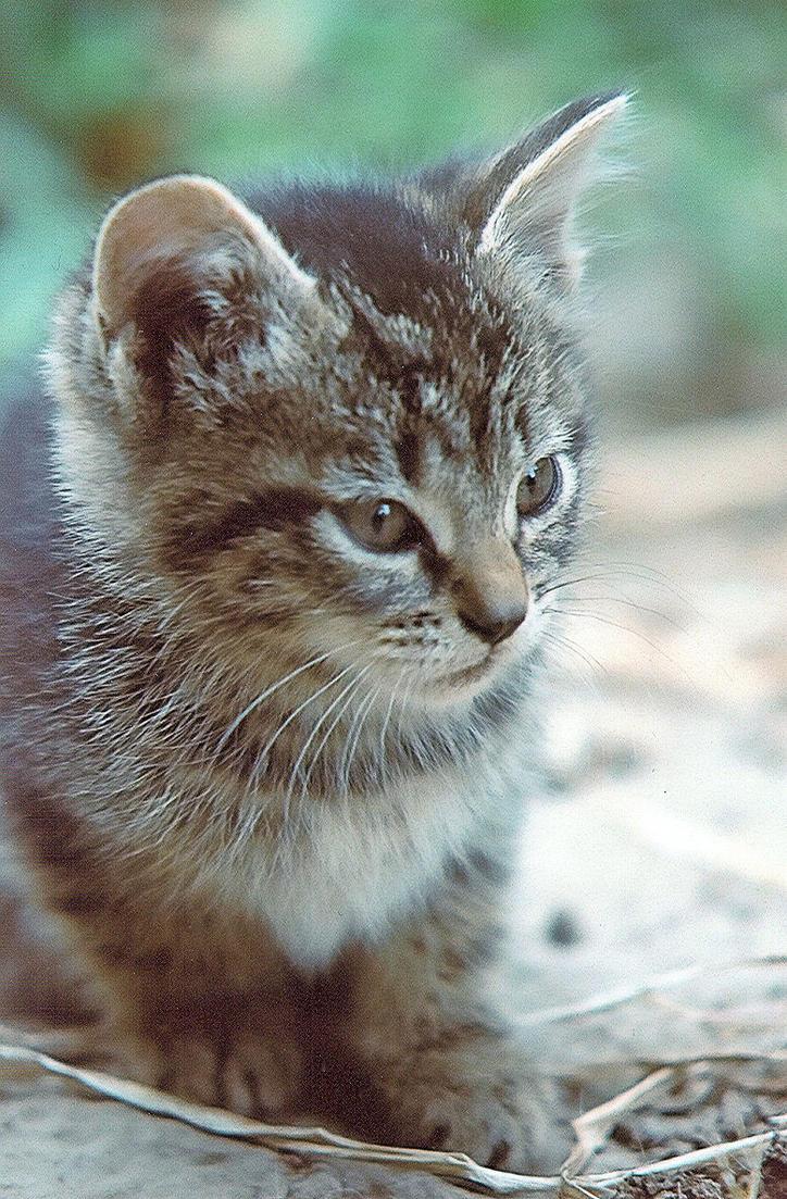 Stock Animal - Kitten 3 by Carol-Moore