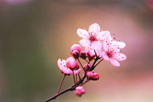 Cherry Blossom by Carol-Moore