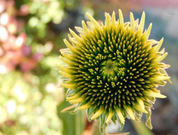 Stock Flower Bud 2 by Carol-Moore