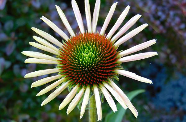 Stock Flower Echinacea 2 by Carol-Moore