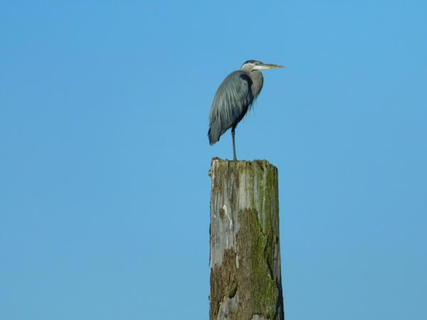 Blue Heron Stock by Carol-Moore
