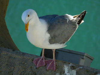 Seagull Stock by Carol-Moore