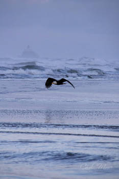 Bald Eagle on Canon Beach
