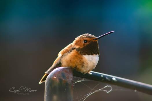 Hummingbird around the Feeder
