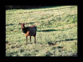 Stock Animal - Elk 1 by Carol-Moore