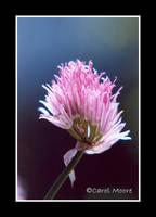 Pink Essence by Carol-Moore
