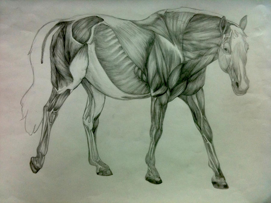 Horse Anatomy: Muscle by raynebou on DeviantArt