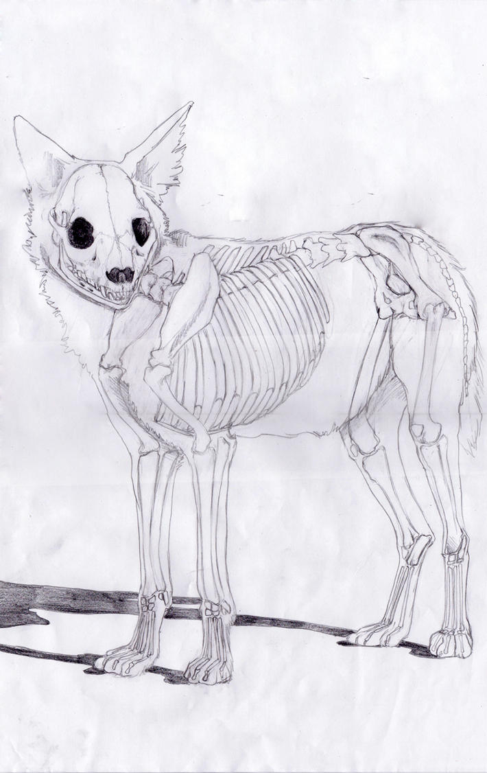 African Wild Dog skeletal system by raynebou on DeviantArt