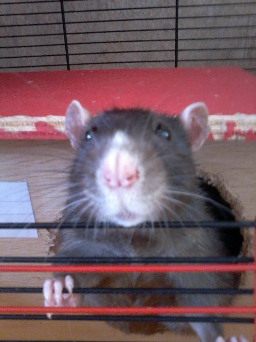 harry the black rat by theladyinred002